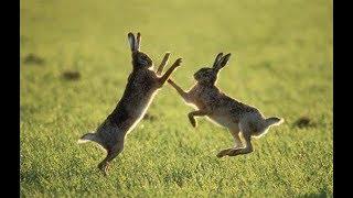 Зайці на природі