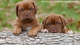 10 biggest dog breeds in the world