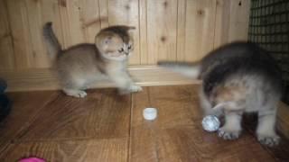 2017 год 11 .02. ПРОДАЖА! золотые британские котята!
