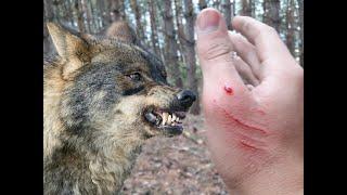 #4 Лес Чувашии . Перестройка шалаша . Волк решил не нападать