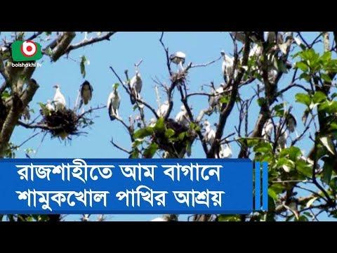 রাজশাহীতে আম বাগানে শামুকখোল পাখির আশ্রয়