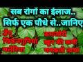 सब रोगों का इलाज..सिर्फ एक पौधे से  |  गिलोय के फायदे | giloy ke fayde aur nuksan |