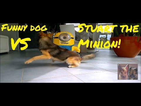 Funny dog VS Stuart the minion!