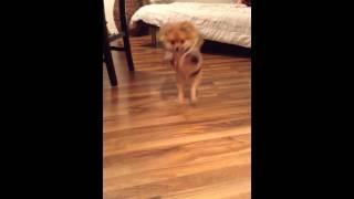 Silly Pomeranian Vine. She Walks The Runway In Style