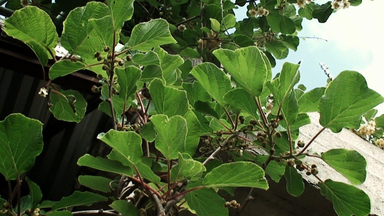 Planta de kiwi youtube for Como se planta la lavanda