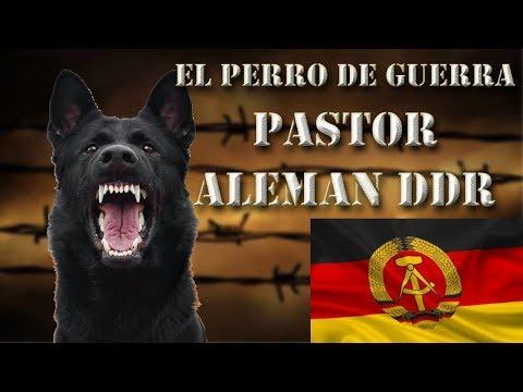 El perro de trabajo definitivo, el Pastor Alemán DDR (Schutzhund - IPO)