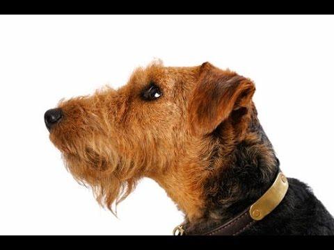 Terrier Galés (Welsh Terrier) - Raza de Perro
