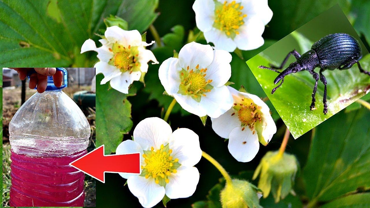 Это видео спасет вашу клубнику от долгоносика во время цветения! Опрыскайте срочно этим кустики!
