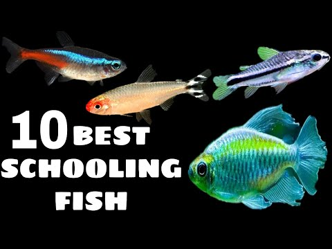 10 Best Schooling Fish For Aquarium