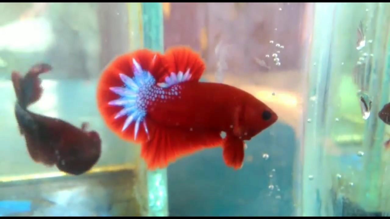 700 Koleksi Gambar Ikan Cupang Hellboy HD Terbaik