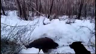 ОХОТА на медведя берлога ШОК РЕАЛЬНОЕ УБИЙСТВО   YouTube