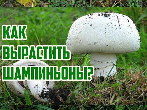 как правильна выращивать грибы шампиньонов