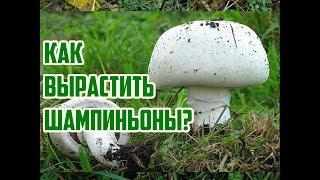 видео Как выращивать грибы шампиньоны в домашних условиях?