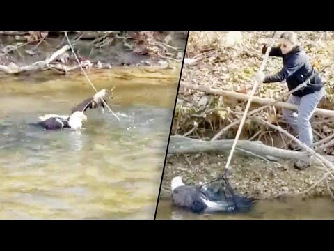 Shelley Wade - Rescuers Rush To Save Injured Bald Eagle In Creek (Video)
