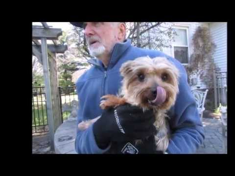 """YORKIE MIX """"ANDY"""" FOR ADOPTION THROUGH CAIRN RESCUE  USA"""