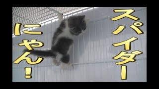 【猫好き】スパイダーにゃん!(マンチカン)《funny cats》