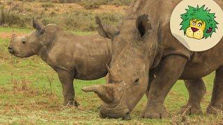 Bei den Nashörnern in Afrika  OLI39;s Wilde Welt  SWR Kindernetz