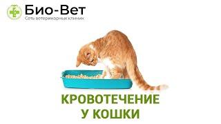 Кровотечение у кошки. Ветеринарная клиника Био-Вет.