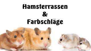 Hamster Arten und Farbschläge (Basics)