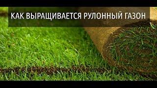 Как выращивается рулонный газон. Рулонный газон в Саратове(, 2016-06-29T14:55:01.000Z)