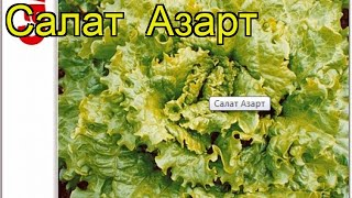 Салат Азарт (Салат Azart). Краткий обзор, описание характеристик, где купить семена Azart