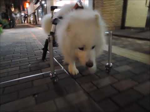 サモエド クローカ 「Last Run」 (samoyed kloka)