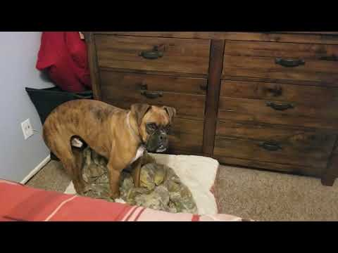 Boxer not happy about bedtime