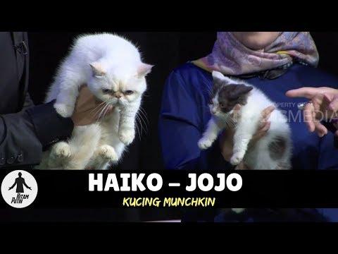 HAIKO & JOJO, KUCING MUNCHKIN | HITAM PUTIH (19/03/18) 1-4