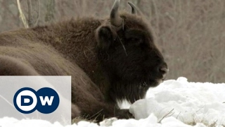 Conservation in Romania – bringing back the European bison | DW Documentary