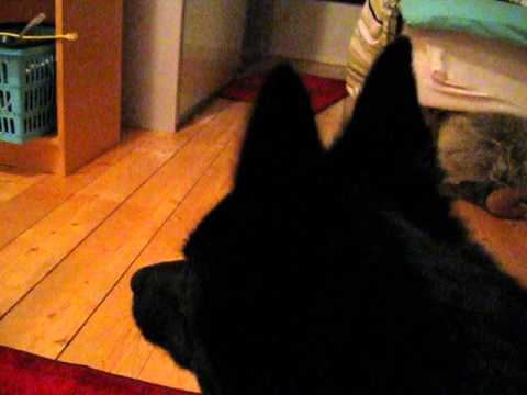 This is what schipperke barking sounds like