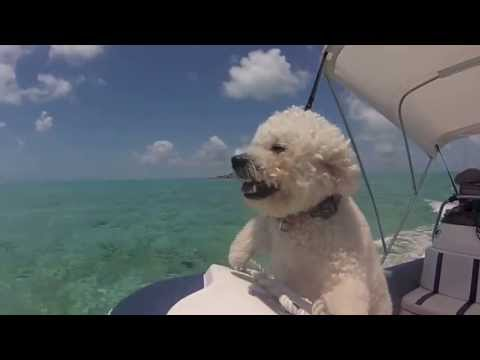 Bichon Puppies in the Bahamas