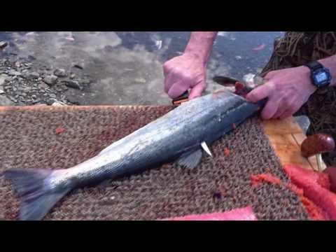 How to fillet salmon - Nome, Alaska