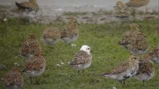 White-headed (Leucistic) Golden Plover