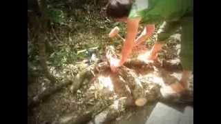 Les terre-pailleux inoculent des bûches de chêne avec du mycelium de shitake!