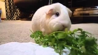 Guinea Pig Eating Cilantro Like There's No Tomorrow
