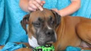 Video Of Adoptable Pet Named Rocky Boxer