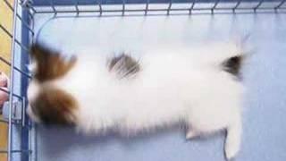 うちのパピヨンさんが家に来た日の動画です。 今のパピヨンさんはこちら...