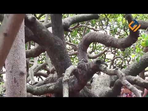 SULIT  DIPERCAYA... Inilah 10 Bentuk Pohon Paling Aneh Di Dunia