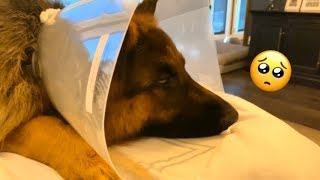 Eiko gets a cone | The Diary of German Shepherds