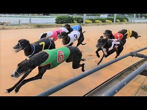 Greyhounds - Dog Racing - Track race