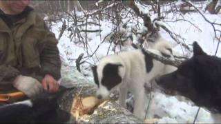 Охоты с Русско-Европейскими Лайками на лесную куницу