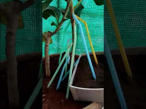 How to grow aerial roots on banyan bonsai tree