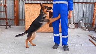 Smart puppy. Первые КОМАНДЫ ЩЕНКА немецкой овчарки Ская. Одесса.