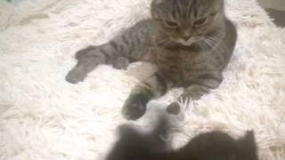 Скоттиш-фолд (Шотландские вислоухие котята)