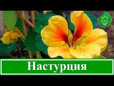 Вопрос: Может ли быть махровость у растений с зигоморфными цветками?
