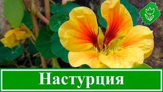 Цветок настурция – посадка и выращивание, уход за настурцией после цветения