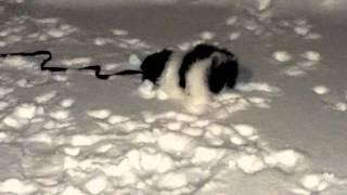 Miniature Schnauzer Playing In Snow