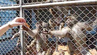 Павианы гамадрилы в Сухумском обезьяньем питомнике, Абхазия(, 2016-06-28T18:36:44.000Z)
