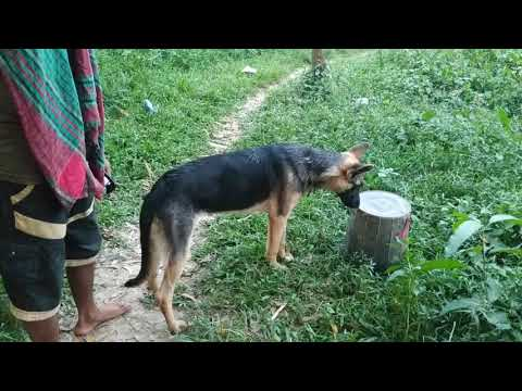 My active german shepherd dog in my turkey farm || weekly farm visit in Turkey parent stock||