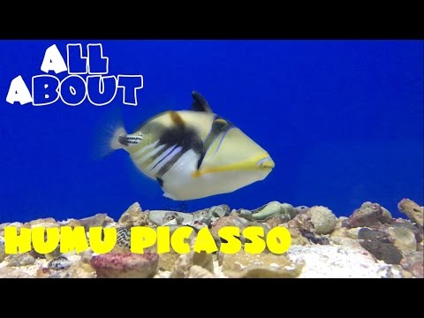 All About The Humu Picasso Triggerfish